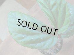 画像2: Begonia sp. Matang 3 from Sarawak RIO0514